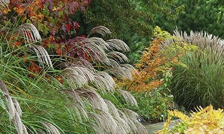 Miscanthus sinensis Kascade with autumn colours