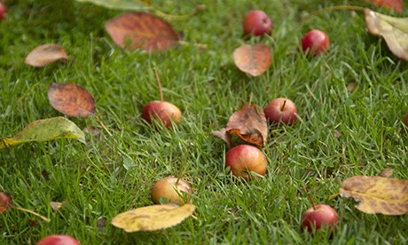 Crab apples on grass