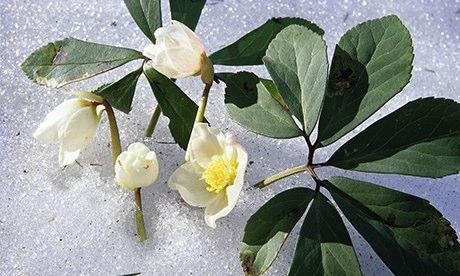 Helleborus niger in snow