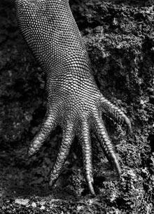 salgado lizard