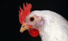 Supermarkets say sourcing non-GM feed for chickens is now too expensive.&ensp;