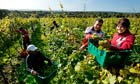 Romanian workers harvest grapes
