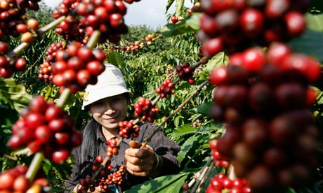 Picker harvests coffee beans in a field in Cu M'Gar district in Vietnam