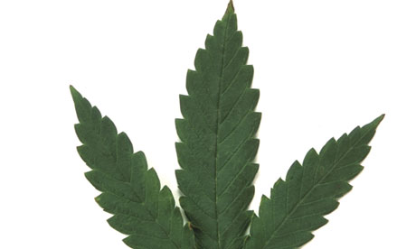 A cannabis leaf on a white background