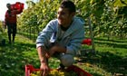 Romanian workers pick grapes in Sussex