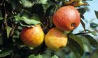 Ripe apples on the tree at harvest