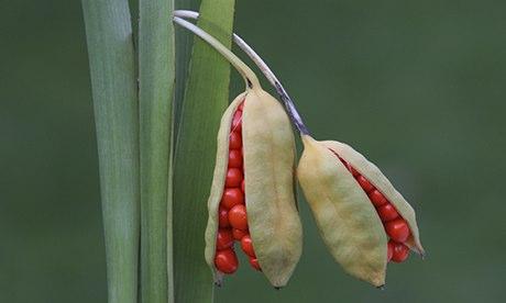 Iris foetidissima close-up, opening