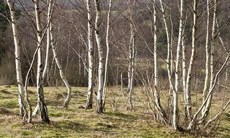 Silver birch trees in winter