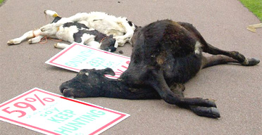 Cow and calve carcasses dumped in Brighton during the Labour conference