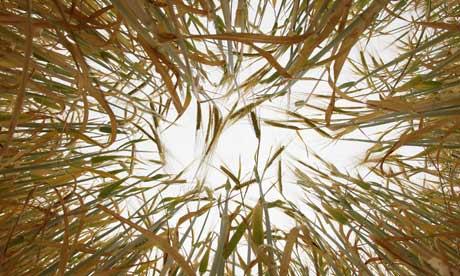El trigo crece en condiciones secas en East Anglia