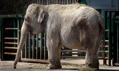 Anne the elephant, at Longleat Safari Park