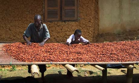 Fermented cocoa beans being dried. Cocoa prices have risen 150% in 18 months – but farmers have not necessarily benefited. Photograph: Alamy
