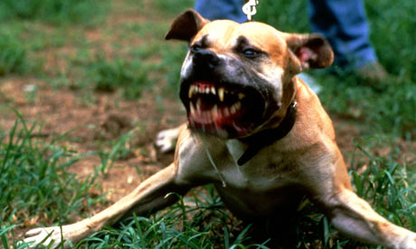 pit bull terrier bares its teeth. They are one of the breeds illegal ...