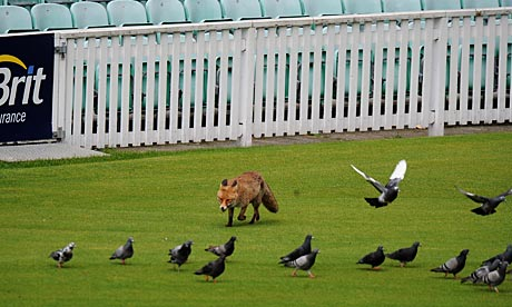 A fox roams the boundary at The Oval