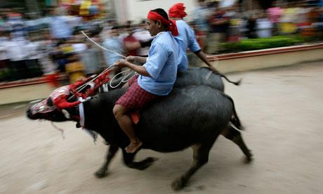 Water buffalo racing
