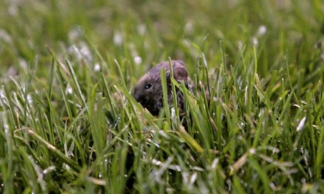 Manchester United criticised by council for failing to deal with mice infestation