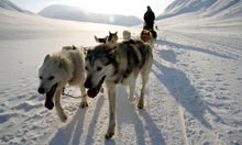 Huskies in Spitsbergen