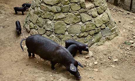 Black pigs in Sicily