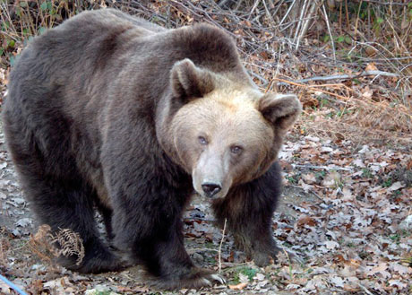 A bear rescued bear from the streets of Brasov