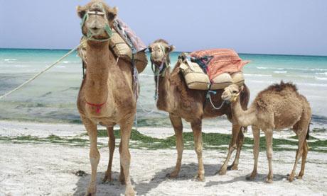 camels tunisia