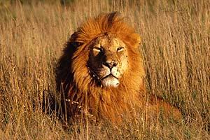 A lion relaxing