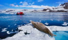 Weddell seal basking in the sun, and snow, in Antarctica