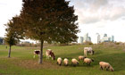 Mudchute Park and Farm below Canary Wharf in East London