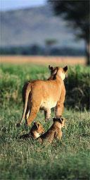 Lioness and her cubs, Masai Mara, Kenya