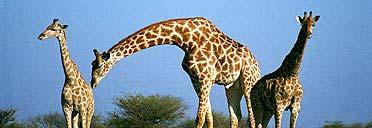 Giraffes at the Etosha Plan Game Reserve