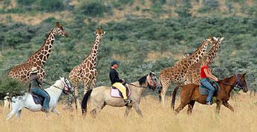 Riders with giraffes