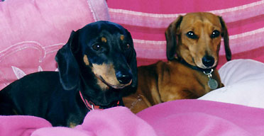 Best Beds For Miniature Dachshunds