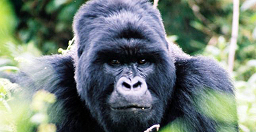 A Ugandan gorilla, from a Rainbow Tours holiday