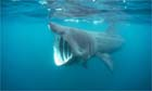 basking shark photo.