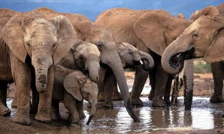 Elephants in Botswana. Ivory poaching was halted by an international campaign in the 1990s.