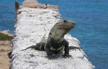 Iguana on Isla Mujeres, Mexico