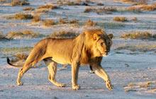 Loewe Lion Panthera leo