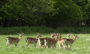 Five species of deer roam the forest