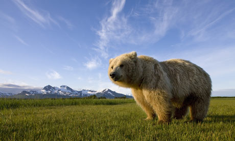Grizzly Bear in Katmai National Park, Alaska, USA