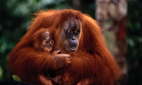 Orangutan and baby in Borneo, South East Asia