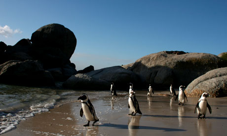 Penguins walk on Boulders beach in Cape Town, South Africa
