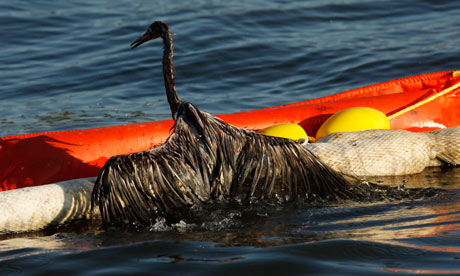 BP oil spill: heavily oiled bird 