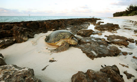 Green turtle, Heron Island