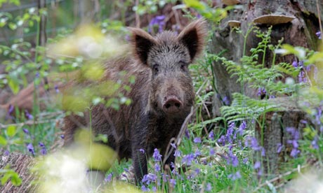 Wild-boar-sow-ij-the-fore-007