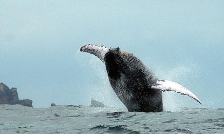 Humpback whale, Isla de la Plata