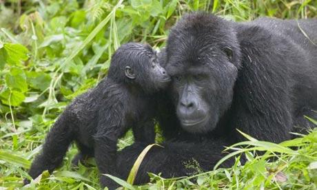Mountain Gorillas, Bwindi national park, Uganda