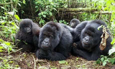 Gorilla family in Rwanda, Volcanoes national park