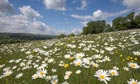 Oxe eye daisies at Aldbury Nowers in Hertfordshire