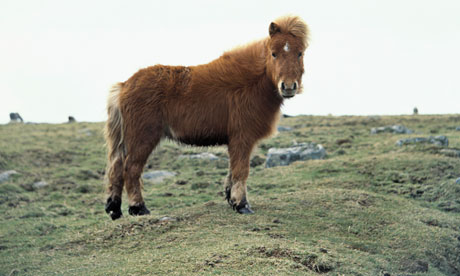 Brown pony in English moorland