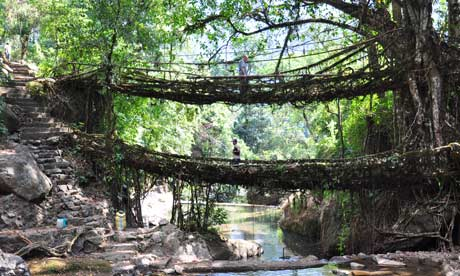 Two-lane traffic … one of the living tree bridges in Meghalaya, India.