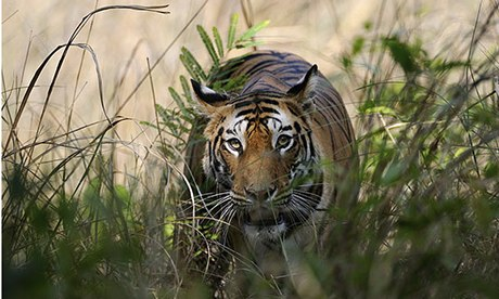 Bengal tigress in Bandhavgarh Tiger Reserve, India